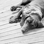 A sweet little dauchshund lays resting on the wooden decking