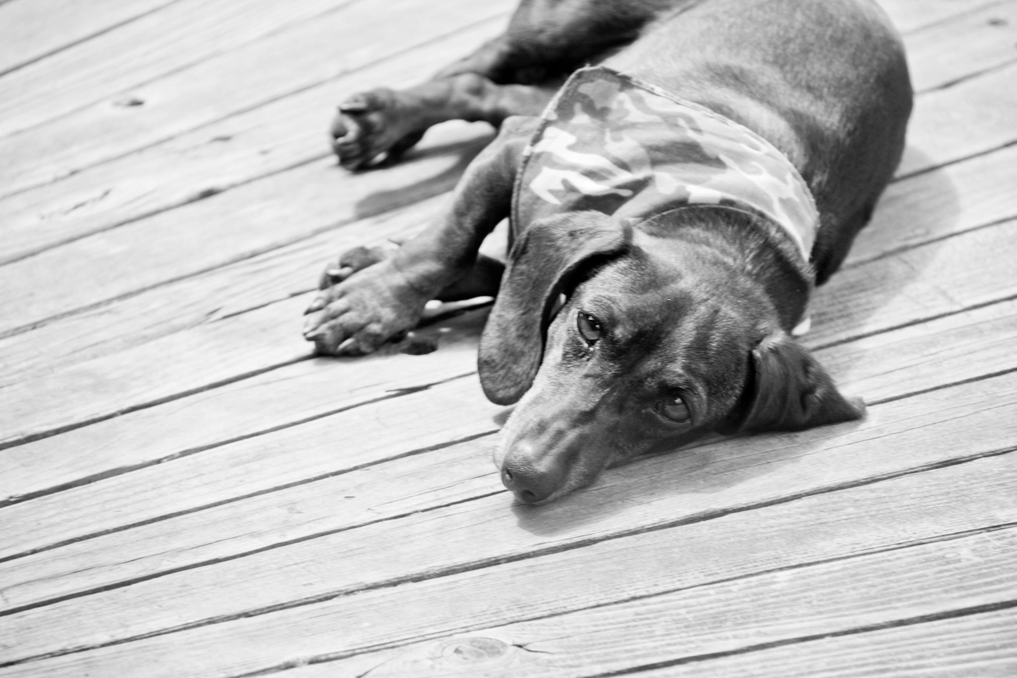 dachshund lying down looking at the camera