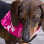 A dark chocolate brown dauchshund weaing a pink camo bandana stares off to the side