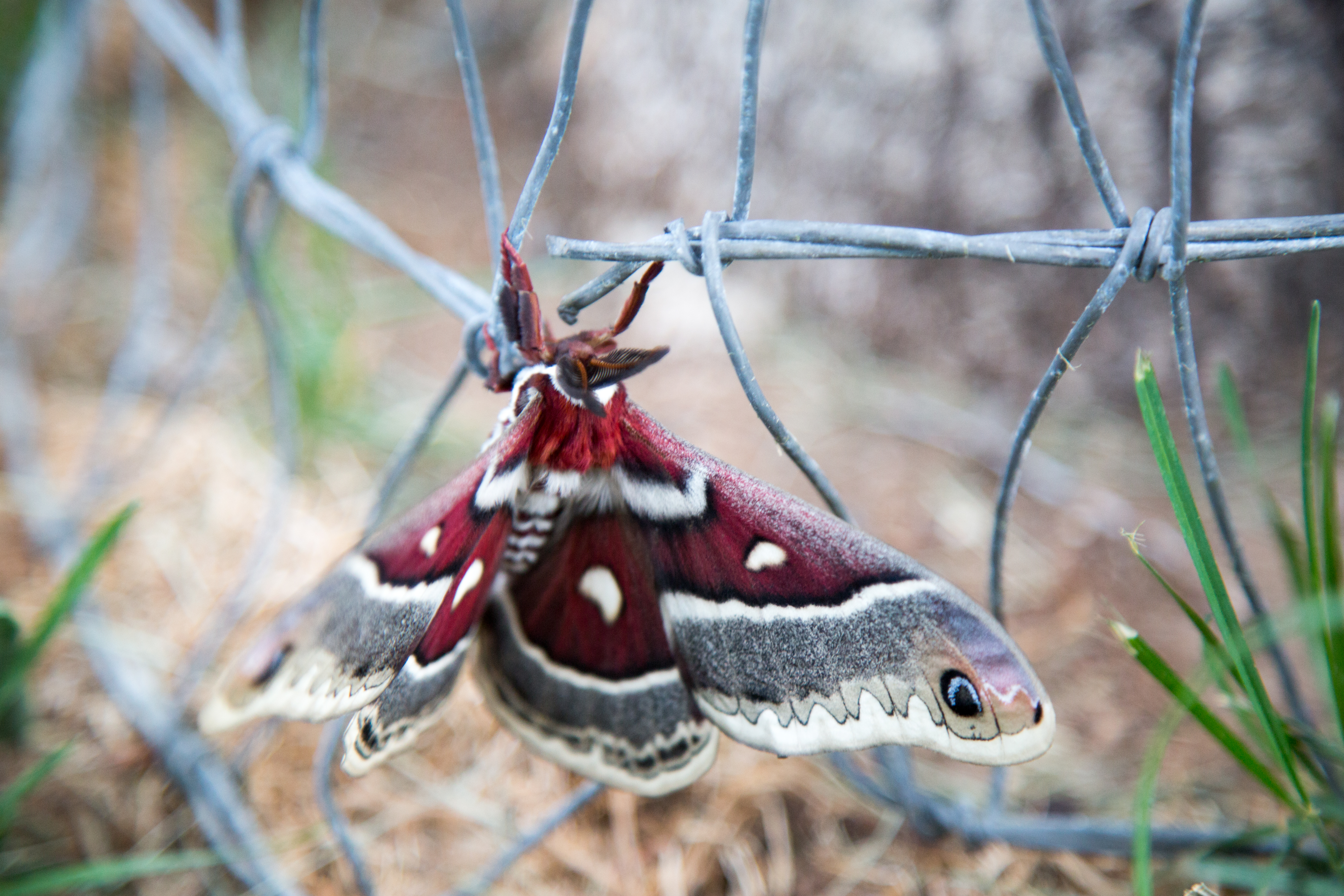 Promethea silkmoth in Colorado