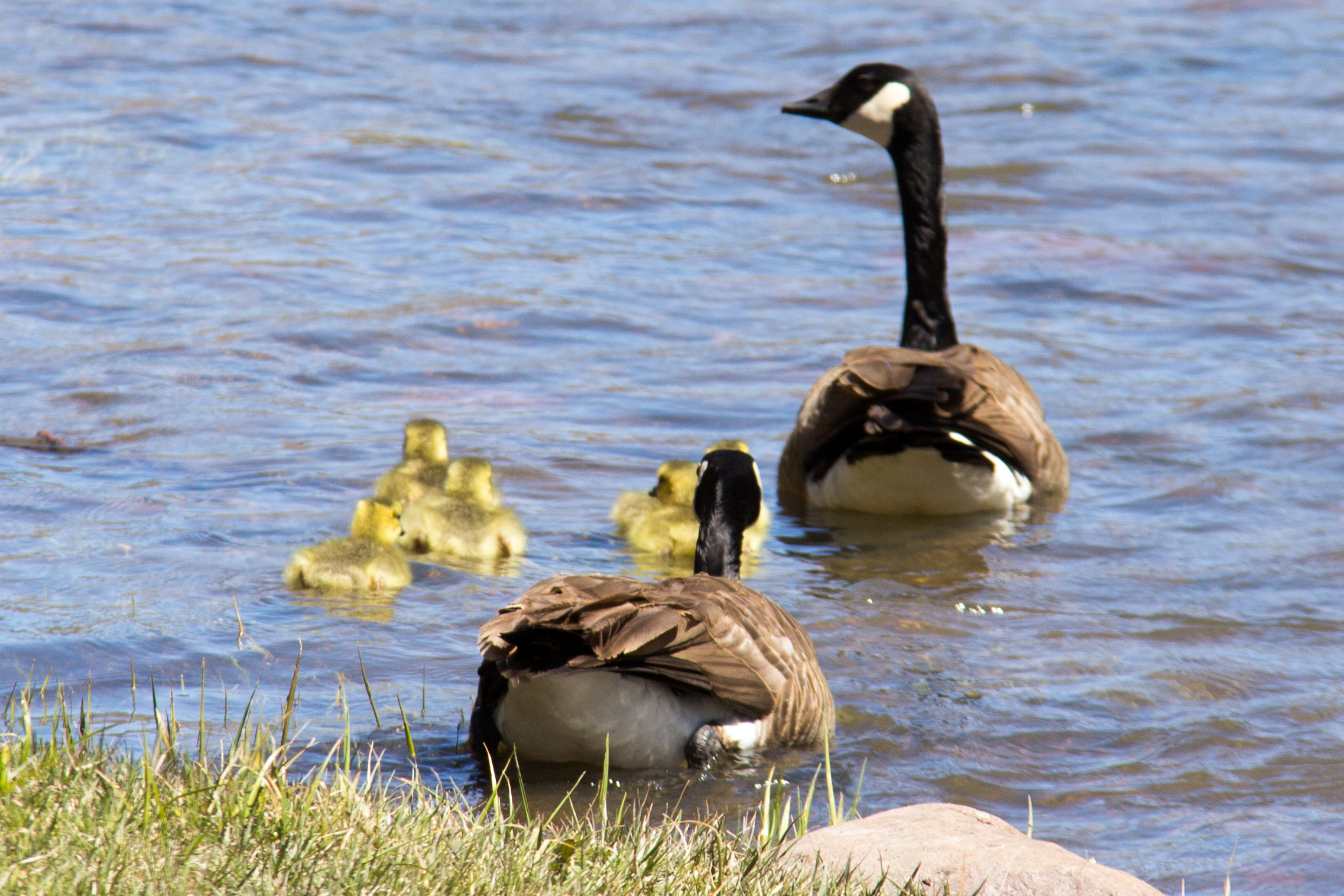 two canadian geese on the river with five goslings