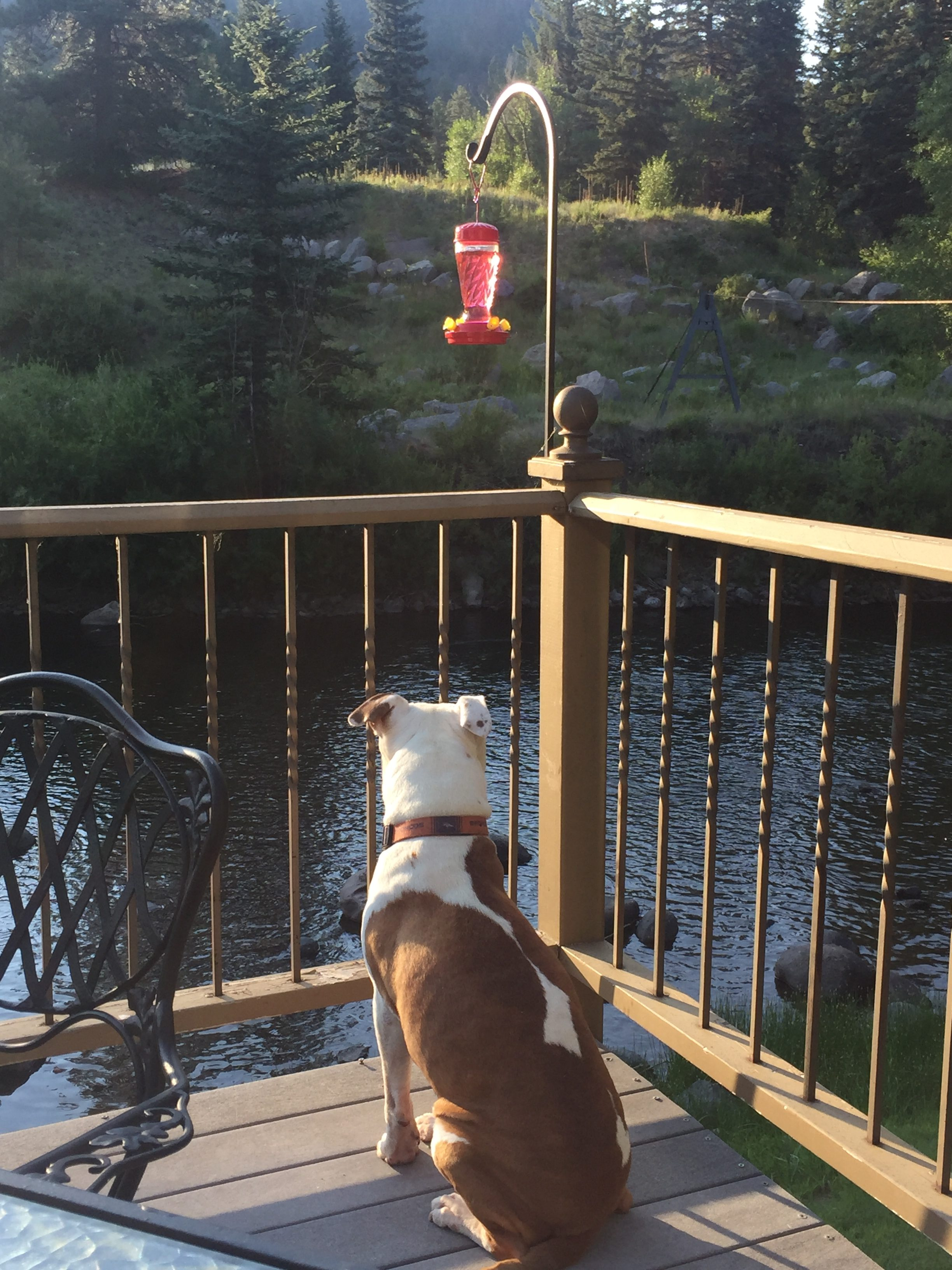 A brown and white dog watches the river flow below him from his seat on the railed porch