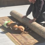 A brown and white sleeping dog lays on a rug while his owner tries to roll it up