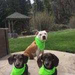 A pit bull and two dauchshunds all wearing green bandanas are sitting on the ground with arbor in background