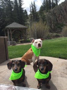 pit bull and two weenie dogs in green bandanas