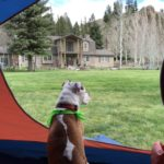 A brown and white dog sits inside an open tent staring out over the property to the house